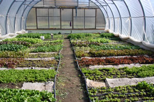 Local food grown in Mississippi Mills in a year round hoop house