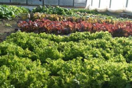 Lettuces and greens growing in Mississippi Mills